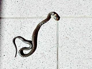 Un serpentello in casa a Sant'Andrea di Conza